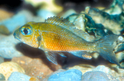 Callochromis macrops, Large-Eyed Mouthbrooder, Big Eye Mouthbrooder, Macrops Red