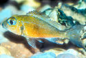 Callochromis macrops Fact Sheet