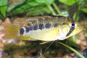 Click for more info on Cockatoo Cichlid
