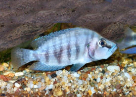 Compressed Cichlid or Lamp Compressiceps, Altolamprologus compressiceps