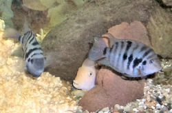 Pink Convict Cichlid, White Convict Cichlid behind the rock