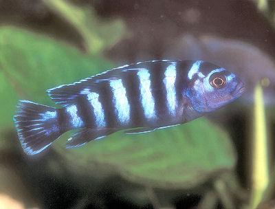 Demanson's Cichlid, Pseudotropheus demasoni, Demasoni Cichlid, Midnight Demasoni