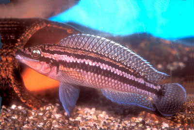 Dickfelds Julie, Julidochromis dickfeldi, Brown Julie, Blue Julie