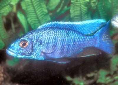 Electric Blue Hap, Sciaenochromis fryeri, Hap Ahli, Haplochromis Ahli