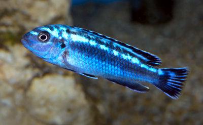 Electric Blue Johannii, Melanochromis johannii, Johanni Cichlid, Blue Johanni, Bluegray Mbuna, Blue Mbuna