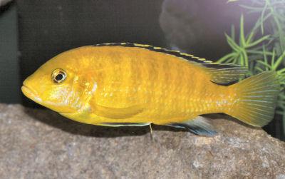 Electric Yellow Cichlid, Labidochromis caeruleus, Yellow Lab, Labido, Lemon Drop Cichlid