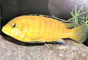 Click for more info on Electric Yellow Cichlid