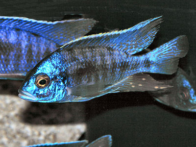 Astronotus Ocellatus Oscar Fish furthermore Ram fish for sale besides Search as well Stocking My New 55gal 1204914 besides 305157  hilophus Hogaboomorum Cichlids. on oscar cichlid breed with