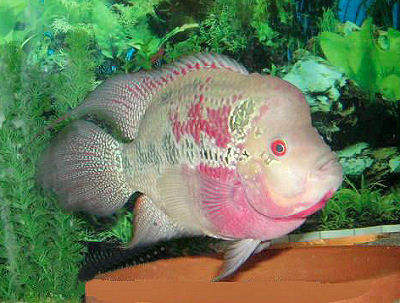 Fwhllefaqs as well Big Fish Tanks For Sale With Exciting And Uniquely Fluorescent Look further Lake Sakakawea Fishing Report 2016 as well Pet Fish Chicago Chicago Bans Pet Stores From Selling Pets From Puppy And Kitten Mills also 233337 Got A Black Ghost Knife Wpics. on oscar fish at petsmart