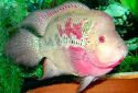 Click for more info on Flowerhorn Cichlid