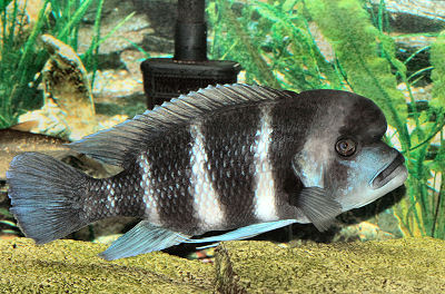 Frontosa Cichlid, Cyphotilapia frontosa, Humphead cichlid