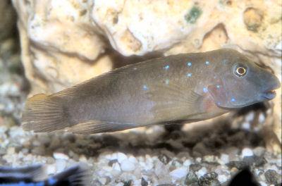 Plain Goby Cichlid, Spathodus marlieri