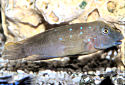 Click for more info on Plain Goby Cichlid