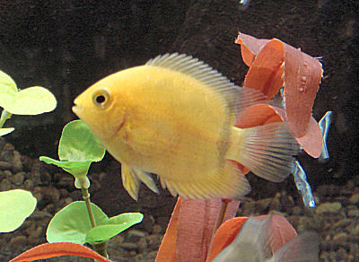 Golden Severum, Heros severus, Gold Severum, Banded Cichlid