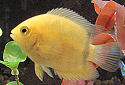 Animal-World info on Golden Severum