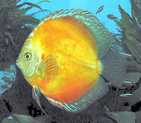 Discus, Symphysodon haraldi variety, Golden Discus