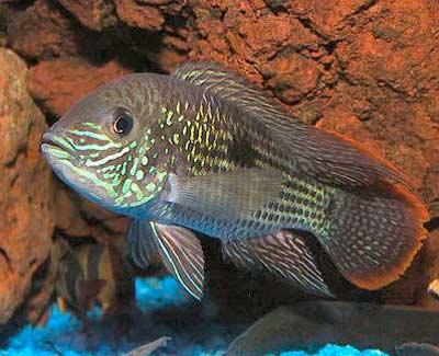 Natural habitat their cichlids pdf malawi in