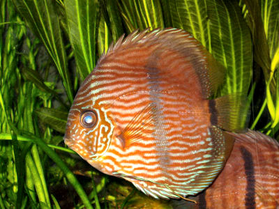 Heckel Discus, Symphysodon discus, Red Discus, Pompadour Fish