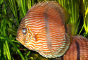 Click for more info on Heckel Discus