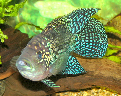 The Electric Blue Jack Dempsey is a favorite South American Cichlid