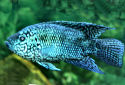 Electric Blue Jack Dempsey Fact Sheet