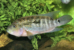 Can anyone id this fish cichlids page 2 for Jack dempsey fish
