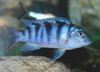 likewise Cichliddisfaq2 furthermore Fin Rot likewise BlueGobyCichlid together with What Do Oscar Fish Eat. on oscar cichlid diseases