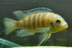 Kenyi Cichlid Maylandia Lombardoi Kennyi Cichlid Fish Guide