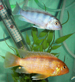 Kenyi Cichlids, Maylandia lombardoi, male/female pair