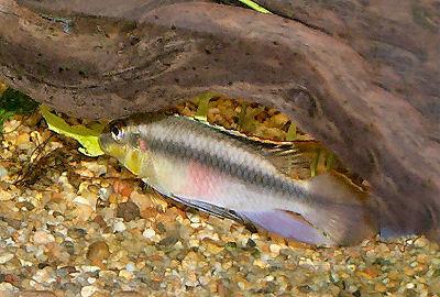 Kribensis, Pelvicachromis pulcher, Purple Cichlid