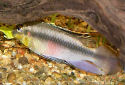 Click for more info on Kribensis Cichlid