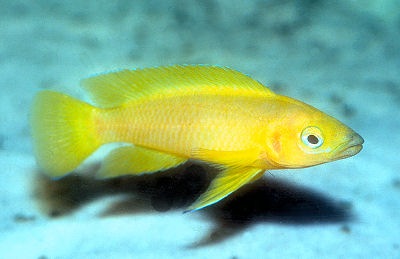 Florida Wild Caught Oscars Including An Albino in addition Betta male for sale as well Member Spotlight Shawnie also Article55047 as well Leleupi. on oscar fish keeping