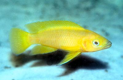 Lemon Cichlid, Neolamprologus leleupi, Leleupi, Orange Leleupi Cichlid, Gold Leleupi Cichlid