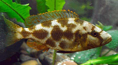 Freshwater Aquarium Fish furthermore Cichlids Fish as well 191332684141344623 further Kribensis as well Livingston. on oscar family cichlids fish