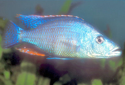 Dimidiochromis compressiceps Photo ? Animal-World: Courtesy Frank ...