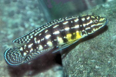 Marlier's Julie, Julidochromis marlieri, Checkered Julie, Marlieri Cichlid, Spotted Julie