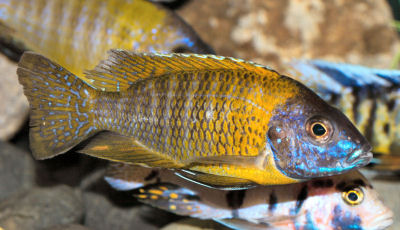 Breeding Convict Cichlids moreover Oscar Of The Amazon besides WhiteSpottedCichlid further 173599760612947948 additionally TanganyikaCichlidTypes. on oscar family cichlids fish