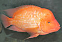 Midas Cichlid Fact Sheet