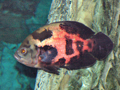 Picture of an Oscar Cichlid, a large South American Cichlid
