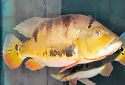 Click for more info on Peacock Cichlid