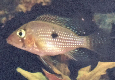 Pearl Cichlid, Geophagus brasiliensis, Pearl Eartheater, Mother-of ...