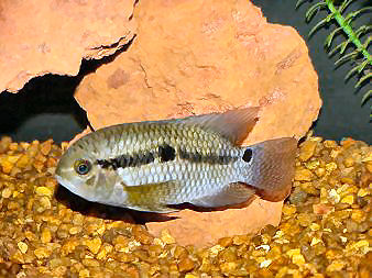Port Acara, Cichlasoma portalegrense, Red Port Acara, Black Acara, Port Cichlid