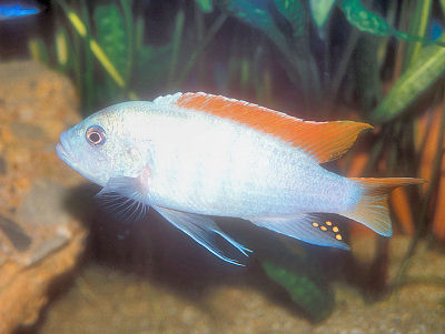 ... Blue, Maylandia (Metriaclima) greshakei, Williams Mbuna Cichlid Guide