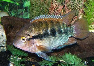 Rainbow Cichlid, Archocentrus multispinosus (Herotilapia multispinosa)