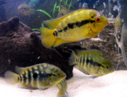 Rainbow Cichlid male with offspring, Archocentrus multispinosus (Herotilapia multispinosa)