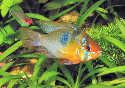 Picture of a Ram Cichlid, a South American Dwarf Cichlid