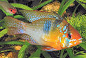 Click for more info on Ram Cichlid