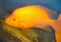 Click for more info on Red Devil Cichlid