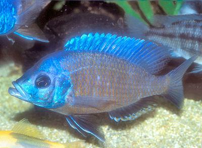 Red Fin Kadango, Copadichromis borleyi, Yellow Fin Borleyi Cichlid, Haplochromis Borleyi Redfin