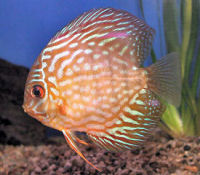 Discus, Symphysodon haraldi variety, Red Pigeon Blood Discus